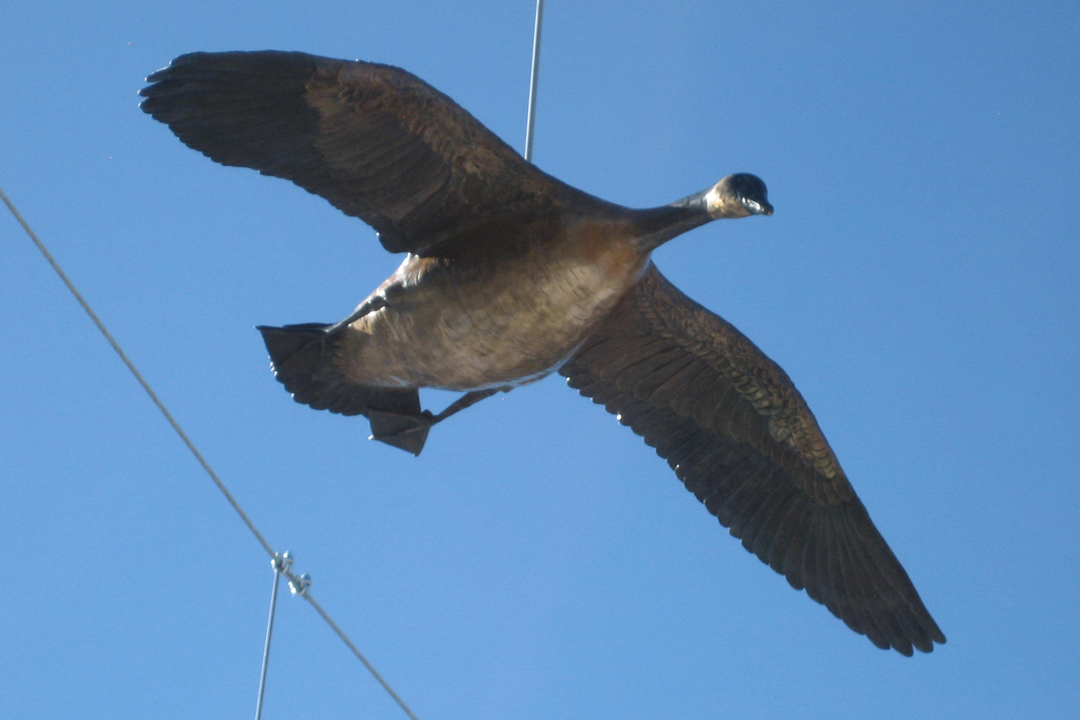 Image 1 for Gathering Place, a close up of one of the Canada Geese in Flight